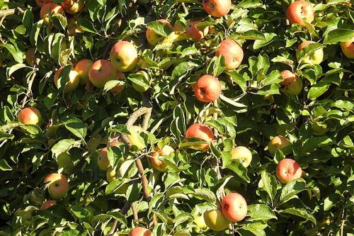 梦见买苹果很多坏掉了